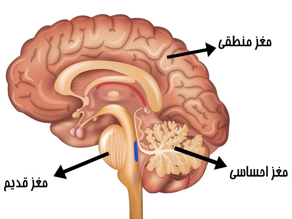 مغز های سه گانه